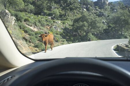 Driving slowly with animals at local road. Cow crossing. View from the inside of the car Imagens