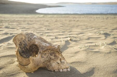 Livestock skull close to reservoir shore. Drought empties reservoirs concept Фото со стока