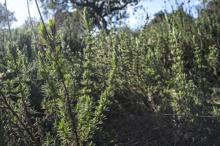 Backlighting thymus plant. Aromatic herbaceous abundant at extremaduran dehesa forests Imagens