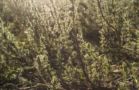 Backlighting of lavender plant at sunset on winter. Aromatic herbaceous abundant at extremaduran dehesa forests Imagens
