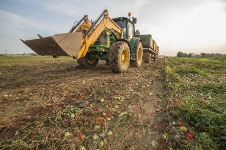 Badajoz, Spain - August 22th, 2018: Tractor transports three gondolas containers through tomatoes field at sunset. Tomatoes season at Vegas del Guadiana, Spain