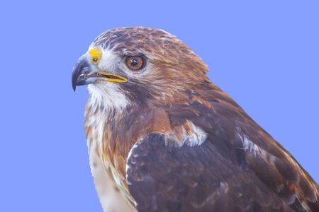 Red-tailed hawk or Buteo jamaicensis. Isolated over blue Stock Photo