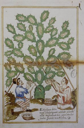 Cochineal Collecting from the host plant, a prickly pear, 1620. Watercolor illustration. General Archive of the Indies, Seville, Spain