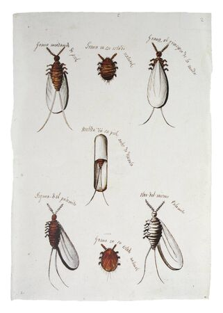 Cochineal production in Mexico, 1821. Insects description. illustration. General Archive of the Indies, Seville, Spain