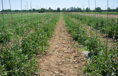 Tomatoes plantation furrows with spalier. Vegas Bajas del Guadiana, Spain