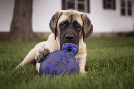 Close up of a Bull Mastiff dog lying down with a toy under her paw, staring into camera. Stock Photo