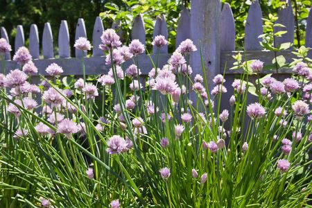 Purple Chives in garden setting in front of fence