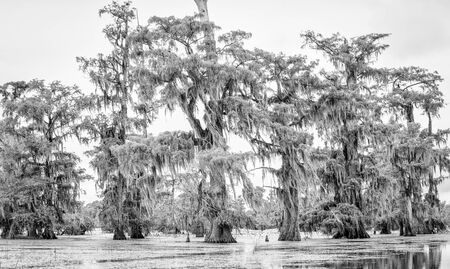 Cypress trees in black and white