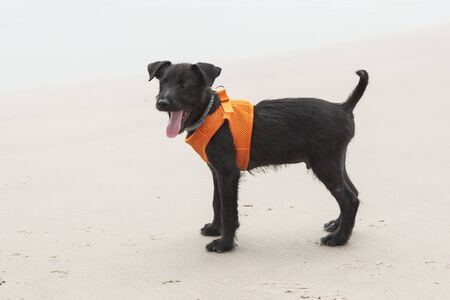Close up of a young puppy enjoying the beach wearing a harness