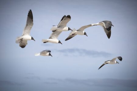 Close up of a flock of seagulls flying Stock Photo