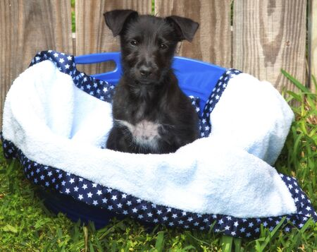 Cute, black mixed breed puppy in a basket in front of a wood fence