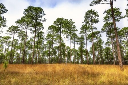 Open field in forest of tall pine trees