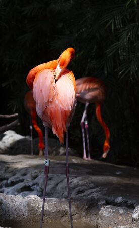 Close up of a vibrant colored flamingo preening itself. Backward facing with beak in feathers.