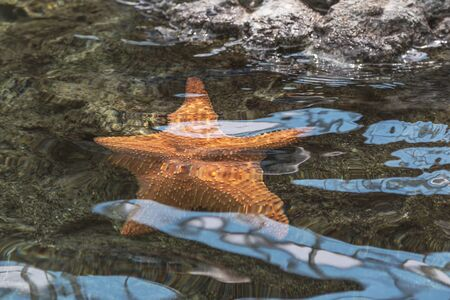 A starfish hangs on a rock underwater