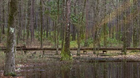 Landscape shot of a wooden path in forest amongst lush trees in early spring