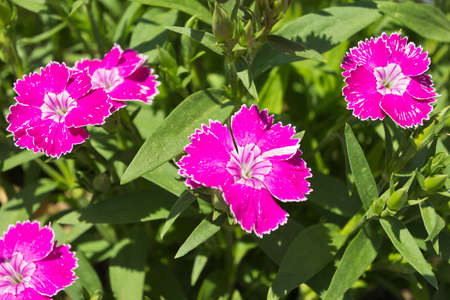 Close up of vibrant pink dianthus blooms in a summertime garden Stock Photo
