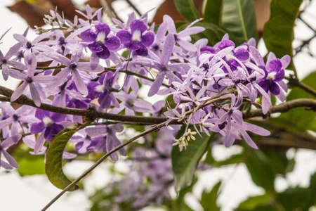 Close up of Purple Wreath flowers (Petrea volubilis)
