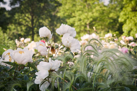 Multiple blooms of white peonies and ornamental grass in a garden.