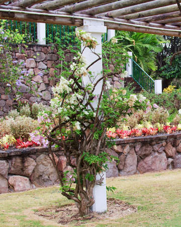 White bougainvillea Seafoam variety growing up a beam of a pergola in a tropical garden. Stock Photo