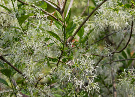 Close up of beautiful, white witch hazel flowers on tree branches