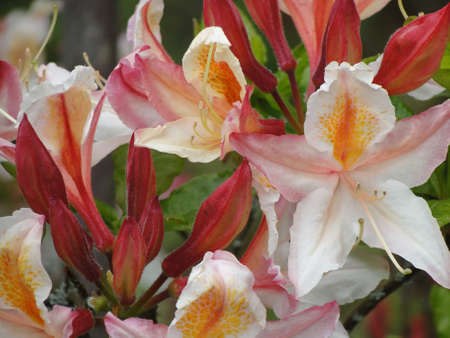 Close up of beautiful white, peach colored edge rhododendron flowers with orange flecking.