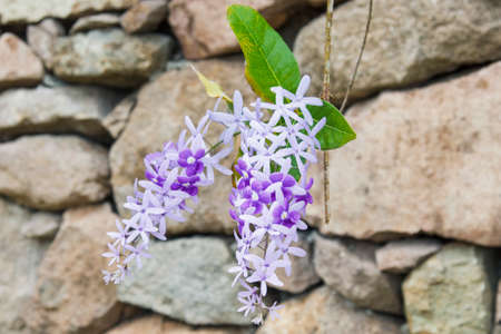 Close up of two bunches of the Purple Wreath flowers hanging off a vine infront of a rock wall