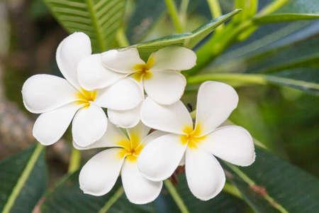 Close up of delicate, beautiful, white plumeria flowers