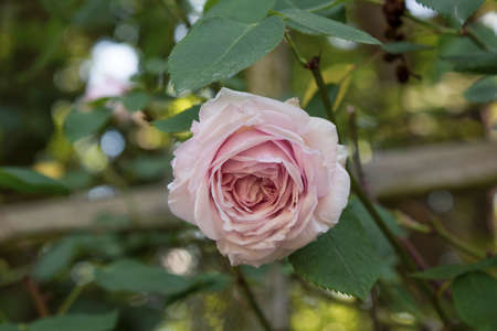 Close up of a single pink Queen of Sweden English climbing rose on a wooden trellis