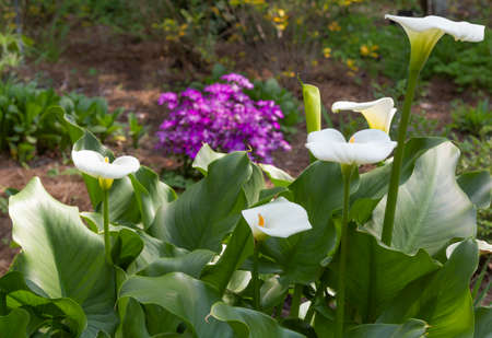White canna lilies in a colorful garden landscape Stock Photo