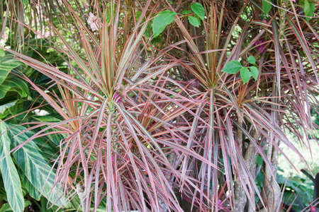 Close up of beautiful, variegated leaves of the Dracaena marginata Tricolor plant also known as the Rainbow Tree or Dragon Tree Stock Photo