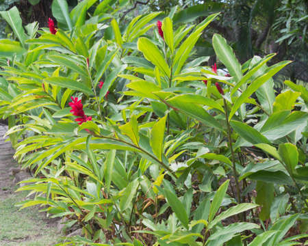 Red ginger flowers, Alpinia purpurata, in a tropical landscape with palm tress in background