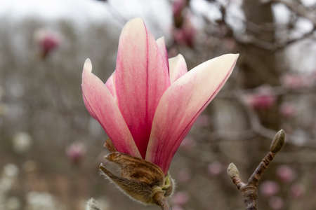 A close up of a single saucer magnolia bloom in early springtime Stock Photo