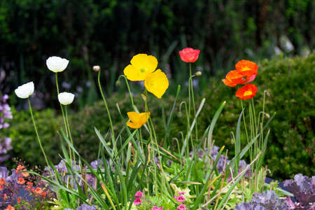 A mixed garden planting featuring poppies, flowering kale, and calibrachoa blooms.