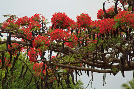 Close up of vibrant red Royal Poinciana flowers on a tree branch on an overcast day. Stock Photo