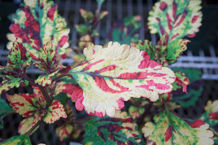Close up of vibrant, variegated, red, green and yellow leaves on the Coleus plant, Stormy Weather. Stock Photo
