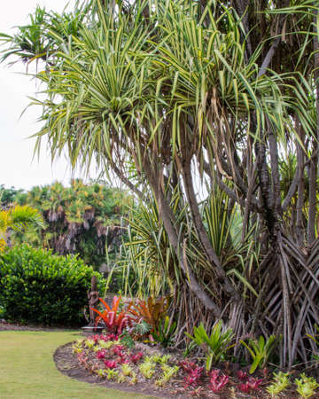 A mature Screw Pine palm tree (Pandanus utilis) in garden with tropical plants in foreground beneath it.