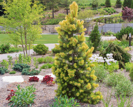 Taylor Sunburst Lodgepole pine in the ladnscape. Vibrant yellow and green needles adorn the branches.