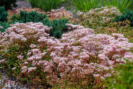 Sedum Murale blooming in a mixed landscape garden with grasses and evergreen shrubs. Stock Photo