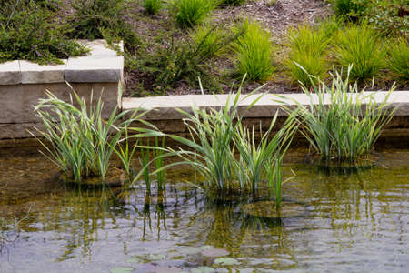 Sweet Flag (Acorus calamus variegatus) in a shallow pond in front of a decorative retaining wall and landscaped hill Stock Photo