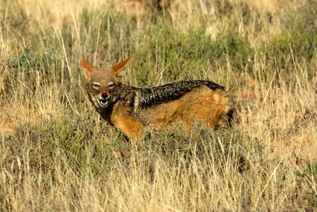 A black-backed jackal photographed in a national park in South Africa.