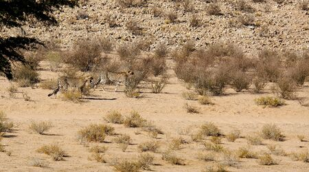 A cheetah pair hunting in the arid landscape in the Kalahari Desert in the Kgalagadi Transfrontier Park between Namibia and South Africa.