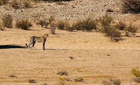 A cheetah moving in the arid landscape in the Kalahari Desert in the Kgalagadi Transfrontier Park between Namibia and South Africa. Stock Photo