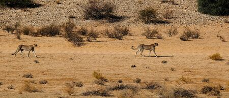 Two cheetahs  moving in a dry river bed in the Kalahari Desert in the Kgalagadi Transfrontier Park between Namibia and South Africa.