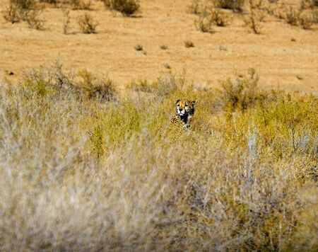 A cheetah surveing the surroundings from grassy cover whilst hunting in the Kgalagadi Transfrontier Park between Namibia and South Africa.