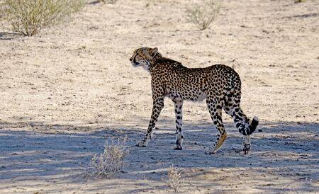 Un ghepardo avvistare potenziali prede mentre si muove nel paesaggio arido del deserto del Kalahari nel Parco transfrontaliero di Kgalagadi tra Namibia e Sud Africa.