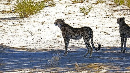 A cheetah pair spotting potential prey whilst moving in the arid landscape in the Kalahari Desert in the Kgalagadi Transfrontier Park between Namibia and South Africa.