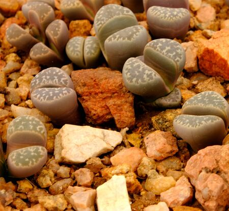 Lithops, a succulent genus of unusual rock-like plant.. Also known as living stones or pebble plants – occurring in South Africa and Namibia. Imagens