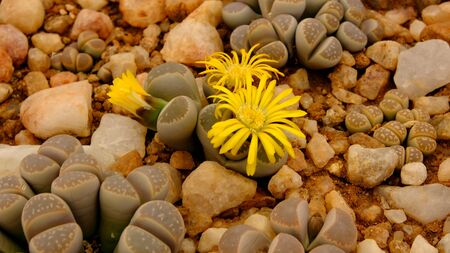 Lithops, a succulent genus of unusual rock-like plant.. Also known as living stones or pebble plants – occurring in South Africa and Namibia. 免版税图像