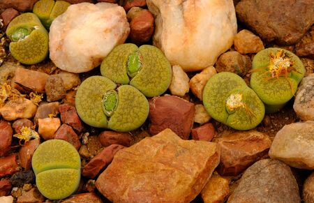 Lithops, a succulent genus of unusual rock-like plant.. Also known as living stones or pebble plants – occurring in South Africa and Namibia. Stock fotó