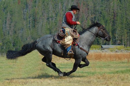 cowboy on horse: Cowboy on Blue Roan Horse Running Through Field